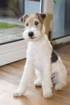 """Original pinner says, """"I have raised two wire fox terriers and find them to be the most entertaining and loyal creatures."""" Sure is a sweet looking pup! Perro Fox Terrier, Wirehaired Fox Terrier, Terrier Dogs, Pitbull Terrier, Airedale Terrier, Wire Fox Terriers, Wire Fox Terrier Puppies, Smooth Fox Terriers, Terrier Breeds"""