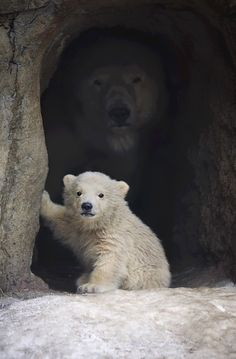 polar bears mom and kid