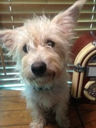 Tommy is an adoptable West Highland White Terrier Westie Dog in Manchester, CT. I'm Tommy  and I am a West Highland Terrier mix. I'm about 1yr old and weigh about 12#. I was rescued out of the kill pe...