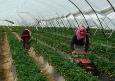 Moroccans, Romanians being recruited to fill thousands of fruit-picking positions in #Andalucia despite high… #Andalucia #Business_Finance