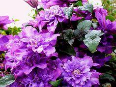 Чтобы заставить эти лианы обильно и долго цвести, опытные цветоводы используют простые хитрости