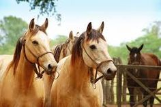 Resultado de imagen para caballos criollos uruguay