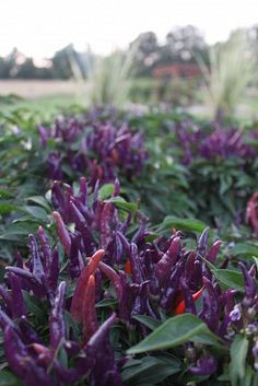 Sangria Peppers. Purple and red ornamental and edible peppers.