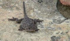 A tiny lizard found on top of the mountain. I have no idea what it's called. Free State, Mountain, Orange, Top, Animals, Animales, Animaux, Animal, Animais