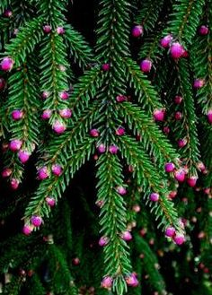 Picea orientalis ' Gowdy ' Columnar Oriental Spruce