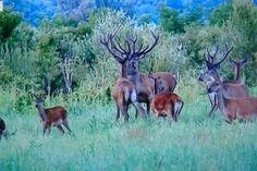 Kopački rit, jelenska zajednica (30)