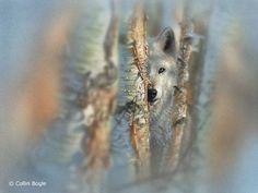Grey Wolf Artist Collin Bogle Collin Bogle Nature Art
