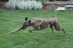 Audrey Gac`s Wahine. Greyhounds, Dog Stuff, Dogs, Animals, Beautiful, Animales, Animaux, Pet Dogs, Doggies