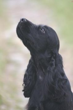 English Cocker Spaniel ~ Classic Cocker Look & Trim Black Cocker Spaniel, Cocker Spaniel Puppies, English Cocker Spaniel, Spaniel Breeds, Dog Breeds, Baby Dogs, Dogs And Puppies, I Love Dogs, Cute Dogs