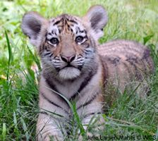 Tell Congress to protect 3,200 tigers
