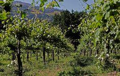 Each grape details: Uvas com diferentes caraterísticas para vinhos com personalidades bem definidas!  #Alvarinho