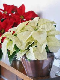 Poinsettia Care - lol I think I need this since I just about killed the one I was given.
