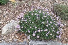 Brachyscome multifida 'Break of Day' Break Of Day, Alpine Plants, Garden Plants, Google Images, Stepping Stones, Nursery, Outdoor Decor, Nature, Gardening