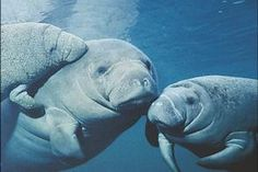 I want to swim with the manatees...