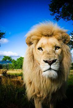 Lion - I love big cats