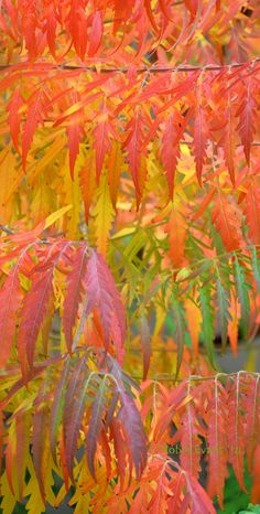 ~~Autumn Curtain | Rhus typhina 'Bailtiger' TIGER EYES - TIGER EYES is a dwarf, golden-leaved, staghorn sumac cultivar that typically matures to only 6' tall and as wide. Intense autumn color makes this a standout in your fall garden! by Robin Evans~~