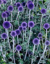 Siperianpallo-ohdake - Echinops ritro ´Veitch´s Blue´ Blue Garden, Garden Theme, Outdoor Gardens, Outdoor Living, Plants, Red, Garden, Flowers, Outdoor Life