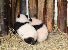 """Twin Panda Cubs (Born on Aug 16, 2014) Lu Lu & """"Xi Xi""""."""