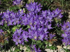 Edraianthus Graminifolius - A Bellflower relative, this is a rock garden plant also suitable for growing on the top of a wall or in an alpine trough. Prefers superior drainage, so a gritty soil or gravel scree is ideal. A good candidate for growing in rock crevices. Prefers a limestone-based soil.