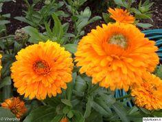 kehäkukka,kesäkukka,yksivuotinen kasvi,puutarha