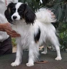 This is also a Papillon, but it's the Phalene version (dropped ears as opposed to the up-standing ears like Rocco has)