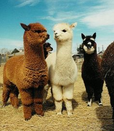 Omg they look like something out of a children's book.  How adorable are these alpacas?!