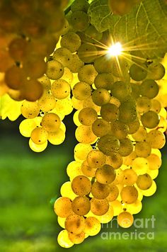 Yellow Grapes - Photography by Elena Elisseeva