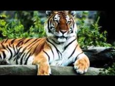 Most endangered animals; read more about the most endangered species/ animals in the world and the factors which cause their extinction. 10 most endangered animals Most Endangered Animals, Endangered Species, Animal Species, Siberian Tiger, Bengal Tiger, Tiger Tiger, Angry Tiger, Panthera Tigris Altaica, Animals Beautiful