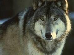 Resultado de imagem para lobo alfa beta omega