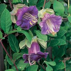 Cobaea scandens - 9 seeds Cup and Saucer plant Unusual Flowers, Different Flowers, All Flowers, Colorful Flowers, Purple Flowers, Beautiful Flowers, Flower Colour, Sutton Seeds, Flower Meanings