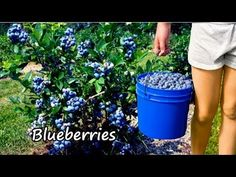 Planting Blueberries & Growing Blueberries - YouTube