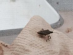Virginia Tech Researchers Find The Best Way to Catch Stink Bugs