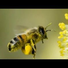 Colony Collapse Disorder Honey Bee | Killing Bees: Are Government and Industry Responsible?