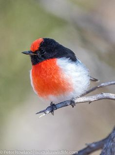Australian Wildlife Photography and Nature-based Travel Information Australian Birds, Pretty Birds, Travel Information, Wildlife Photography, Animal Kingdom, Watercolour, Robin, Image Search, Drawings