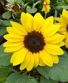 """""""Suntastic Yellow"""" Sunflower"""