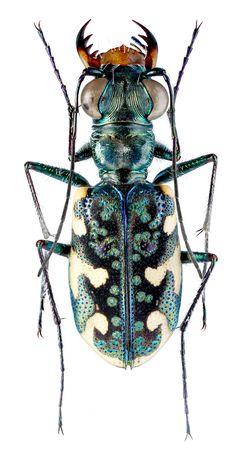 Polyrhanis (Polyrhanis) dabraensis Matalin & Cassola, 2012 Paratype Female adult Indonesia, Papua (New Guinea), Dabra env., Buare river vall., 3°18′S 138°43′E, 5–16.I.2009, at light, leg. V. Sinyaev & A. Zamesov (MPU). Copyright © Matalin