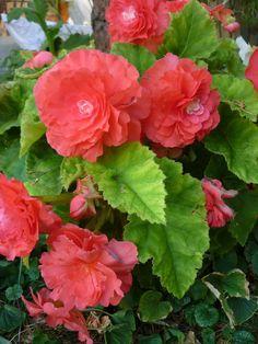 Begonia, Fascinator, Minden, Landscape, Rose, Plants, Garden Ideas, Gardening, Beautiful Things
