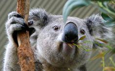 Koala curioso.