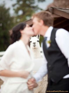 Who in the world takes a wedding picture with a llama?