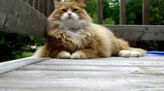 Our Beautiful Maine Coon - Murchyk the Cat