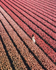 tulips garden care Last one from these cotton candy tulip fields until next year. Garden Care, Inspiration Artistique, Tulips Garden, No Rain, Felder, Landscape Designs, Adventure Is Out There, Dream Garden, Travel Style