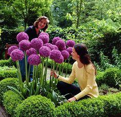 Spirea Bush - bridal veil bush - Blooms beautifully in the Spring ...