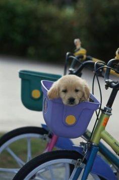labrador  #bike by emilysivits