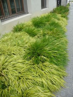 Japanese forest grass - i like the mixed of the species and aureola variety