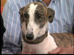 April is National Adopt a Greyhound Month!