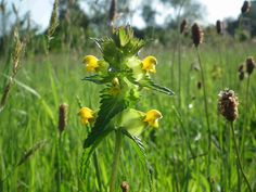 Brush through a wildflower meadow at the height of summer and you'll hear the tiny seeds of yellow-rattle rattling in their brown pods, hence its name. Yellow-rattle is the foodplant for the larvae of two rare moths, including the grass rivulet. Info: The Wildlife Trust Unique Wedding Venues, Unique Weddings, The Tiny Seed, Event Venues, Habitats, Wild Flowers, In The Heights, Grass, Dandelion