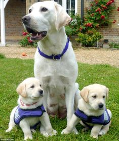 The golden retriever-Labrador crosses are the first litter from a new scheme between Stirling-based charity Canine Partners and Guide Dogs for the Blind. Small Puppies, Lab Puppies, Cute Puppies, Cute Dogs, Golden Retriever, Labrador Retriever Dog, Labrador Dogs, Dog Photos, Dog Pictures