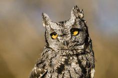 Western Screech Owl, Westerns, Bird, Animals, Animales, Animaux, Birds, Animal, Animais