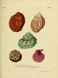d.5 (1774) - G. W. Knorrs Verlustiging der oogen en van den geest ; of Verzameling van allerley bekende hoorens en schulpen, die in haar eigen kleuren afgebeeld zyn. - Biodiversity Heritage Library