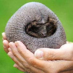 Funny pictures about Hedgehog Without Its Spines. Oh, and cool pics about Hedgehog Without Its Spines. Also, Hedgehog Without Its Spines photos. Hairless Animals, Hairless Dog, Funny Hedgehog, Baby Hedgehog, Baby Wombat, Baby Animals, Cute Animals, Creepy Animals, Funny Animals